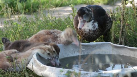 Raft of brown farm ducks drinking water from a steel basin (close up)
