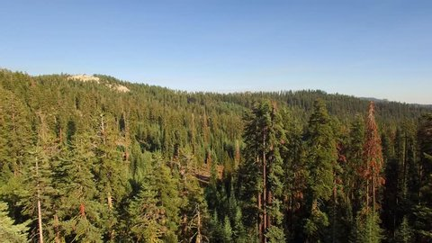 Aerial shot flying over a mountainous forest in the Sierra Nevadas. Tall trees, blue skies: shot flies by tall trees on the right. Redwoods, pine, fir trees. National Forest land.
