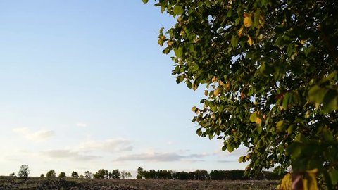 Wind rustles leaves. tree leaves fluttering and rustling in light breeze.