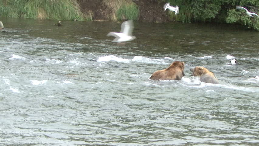 A large Brown Bear takes a salmon away from a smaller bear at Brook Falls in