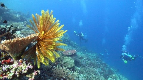 Group of scuba divers on semi-protected coral slope with Bennett's rainbow crinoid in Fiji Islands, HD, UP16442