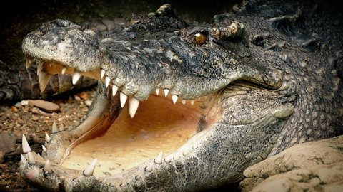 Big Crocodile Opens Mouth
