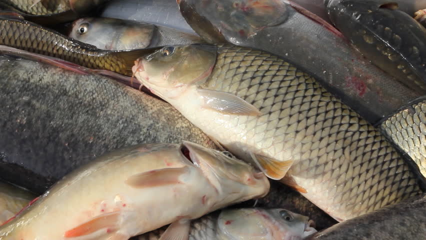 Freshwater Fish, carp, pike, perch, bighead carp, grass carp, sorting