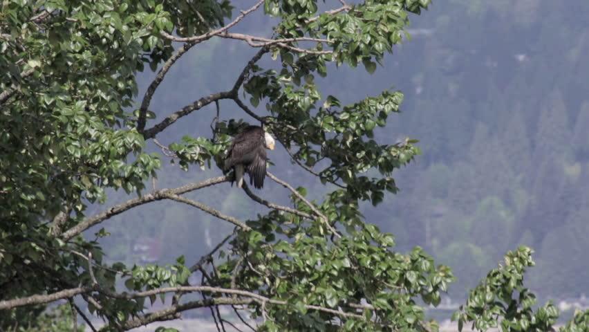 Bald Eagle on Tree with Canada flag Bald Eagle on Tree with Canada flag in the background