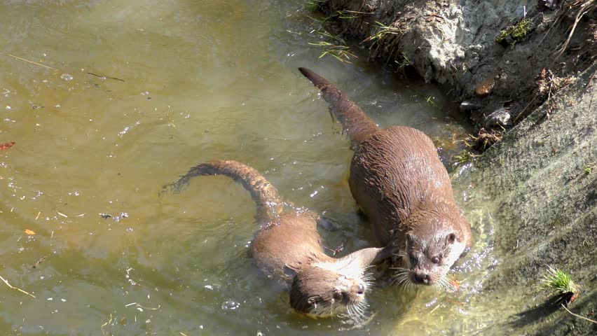 Otter in the Bavarian Forest (Bayerischer Wald in German) National Park in Bavaria, Germany, 4K footage