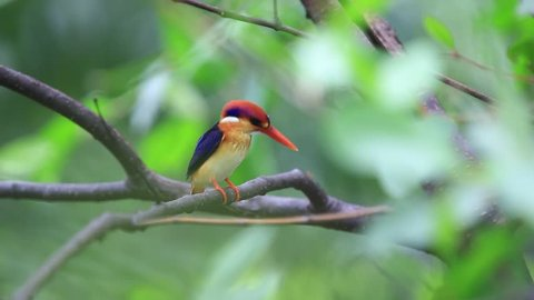 Black-backed Kingfisher, Oriental Dwarf Kingfisher ( Ceyx erithaca ) in the nature at Thailand.