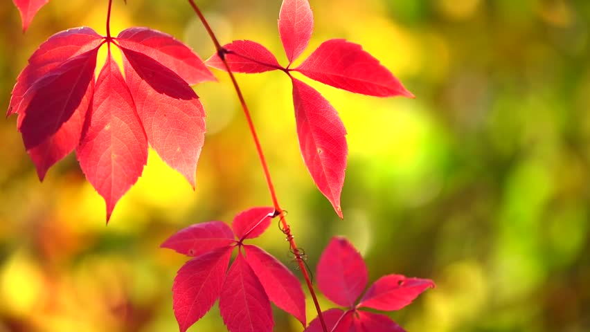 Labels Red Autumn Leaves Photography Hd Wallpapers For: Autumn Red Leaves Over Beautiful Stock Footage Video (100
