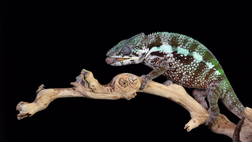 A Panther Chameleon shoots his tongue out to catch a cricket. Shot with a high speed camera.