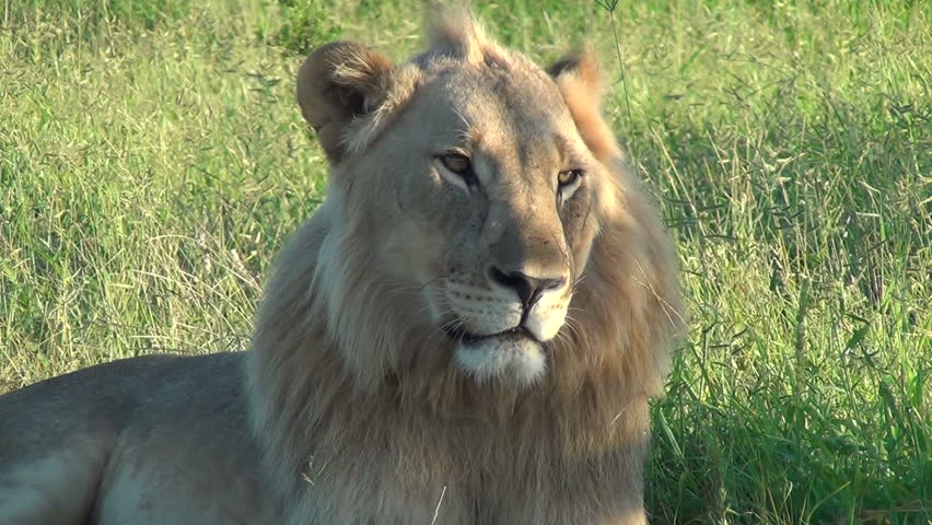 Close up of male lion relaxing in the late afternoon