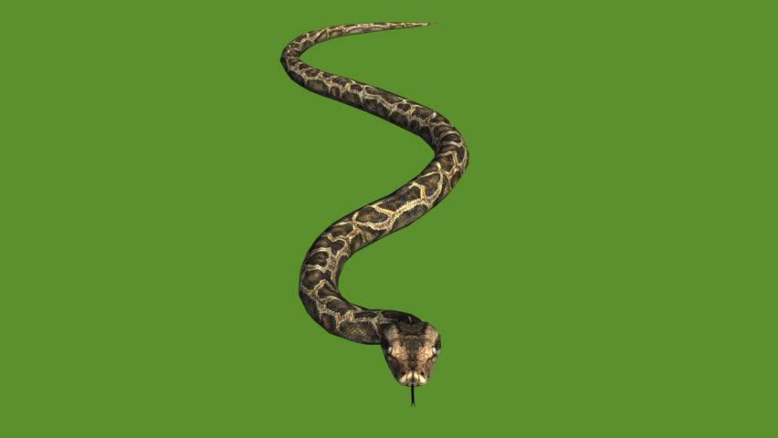 Snake & jungle carpet python crawling swimming,sliding decorative non venomous,wild animal herpetology background.