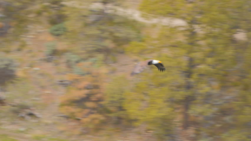 Wild Bald Eagle Flying Back Stock Footage Video 100 Royalty Free 20239093 Shutterstock