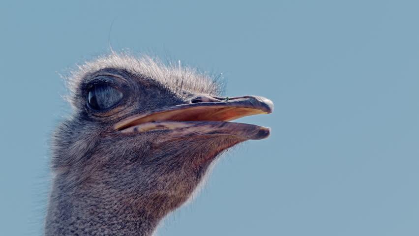 An ostrich blinks.