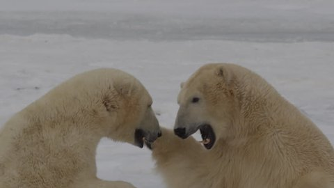 Slow motion - two polar bears punch and bight standing