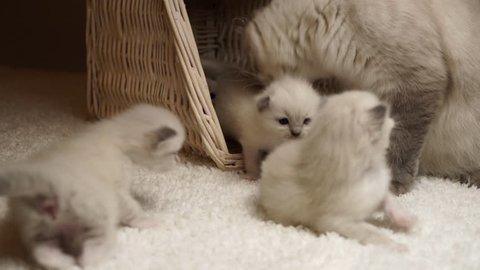 4k footage ragdoll mummy cat with little kittens