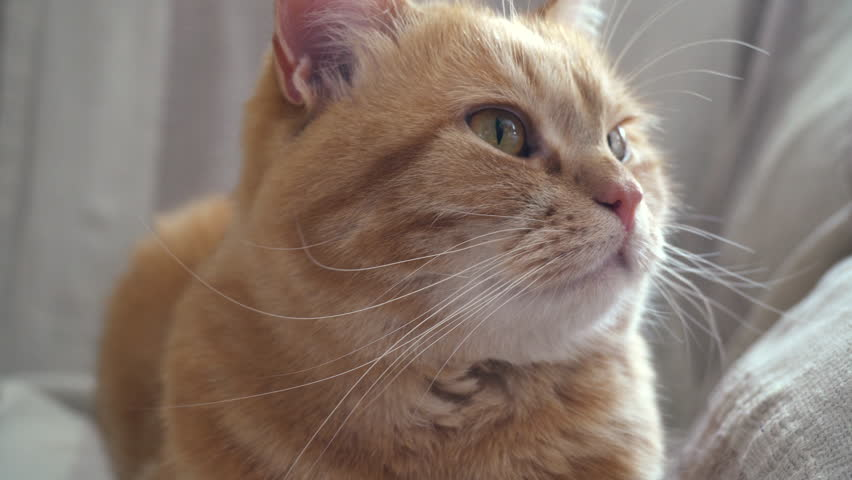 Red Cat Turns His Head Sharply to the Side, Surprised Cat, Lying Tucked Under Her Legs, Looking at One Point and Does Not Blink, Calm State