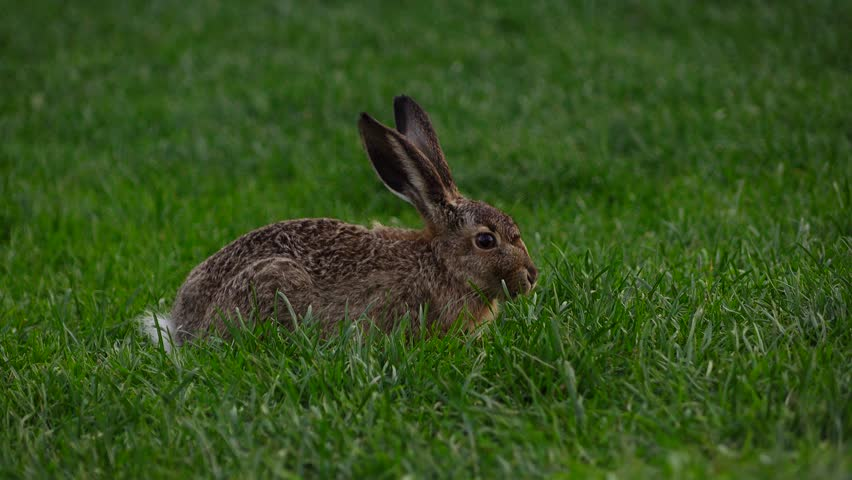 Cute wild hare with long ears eat grass, funny sniffing nose. Adorable big gray and brown rabbit sit in green grass at Helsinki park lawn and chew plant blades, move thread whiskers and look around