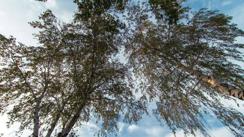 Birch trees timelapse  | Shutterstock HD Video #20459593