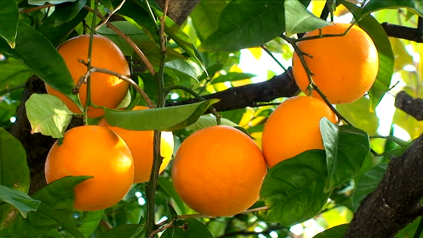 Orange Fruit Hanging On The Tree Trees With Fruits Plantation Stock Footage Video 2053193