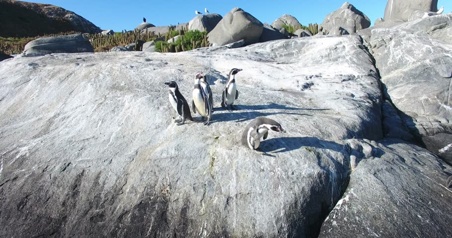A group of protected Humboldt penguins on bird island off the coast of Chile, South America.