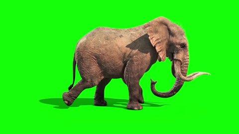 Elephant Runs Static Side Green Screen