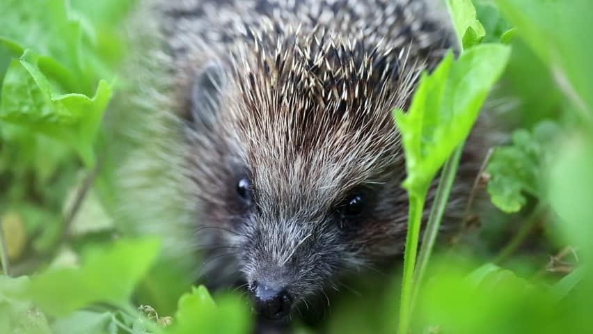 Hedgehog in green grass, scientific name - Erinaceus europaeus, also known as European hedgehog or common hedgehog