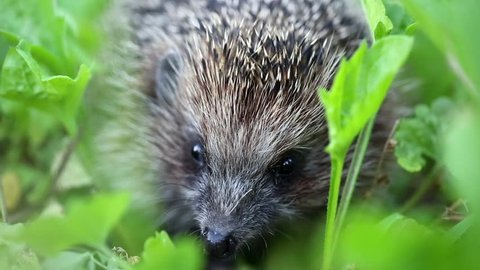 Hedgehog in green grass, scientific name - Erinaceus europaeus, also known as European hedgehog or common hedgehog