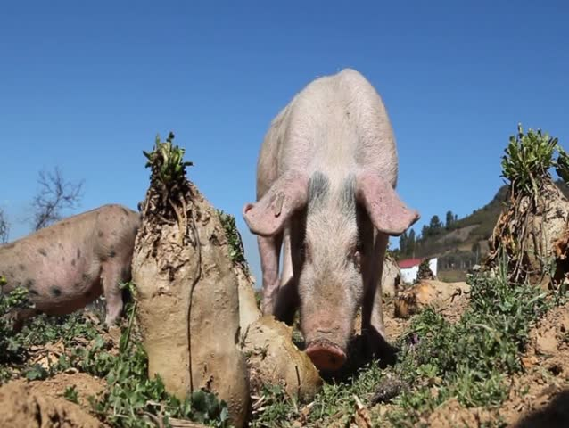 food taboos on pigs in muslim Islamic dietary law: used in food processing are forbidden whatever to do with pigs a muslim is only allowed to sell pork if in an.
