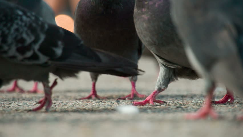 Urban Pigeons Walking on Asphalt. The camera is located at ground level among the flocks of urban pigeons that flocked in search of food. Shooting at a rate of 240fps. | Shutterstock HD Video #20688943