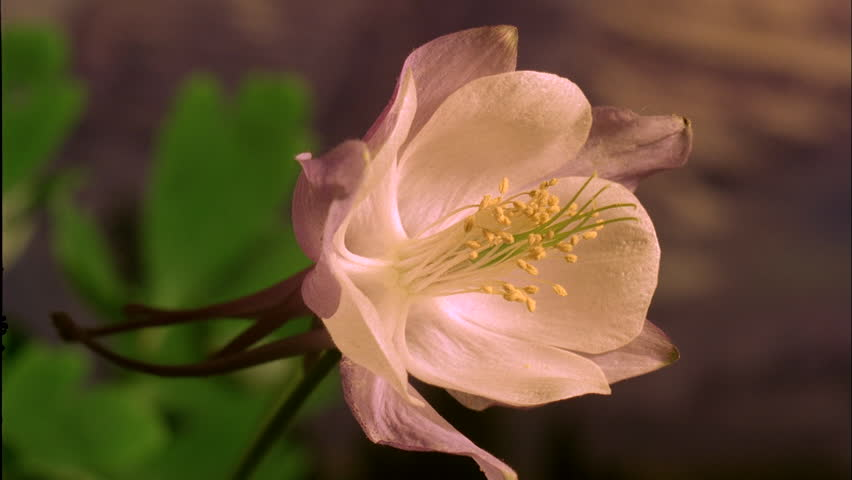 Insert Timelapse CU wilting light pink Columbine flower