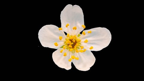 Daffodil (narcissus) blossoming macro timelapse cut out, encoded with photo png, transparent background/ Daffodil flower blossoming cut out macro time lapse