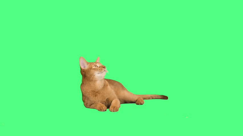 Abyssinian cat on a green background