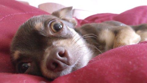 small dog, chihuahua