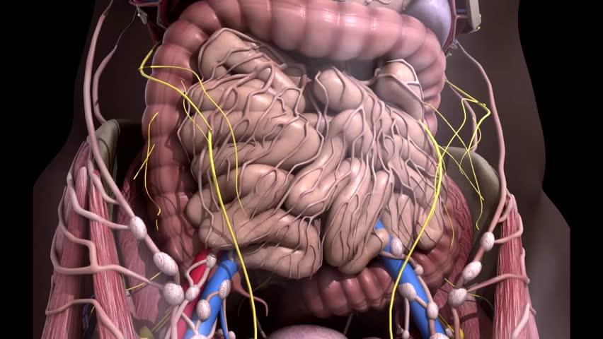 Human anatomy. Movement guts inside the abdomen