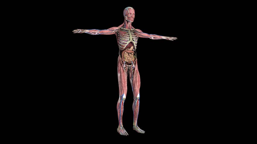 animation of human muscular system in rotation over black, Muscles