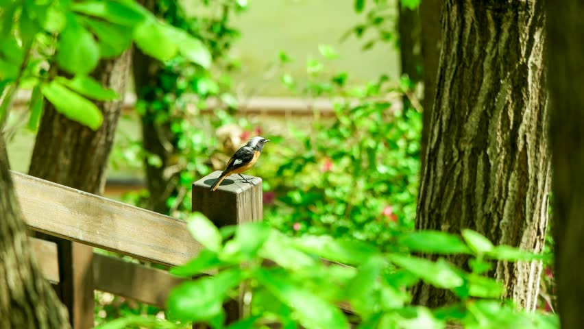Daurian Redstart I met in spring. | Shutterstock HD Video #21049303