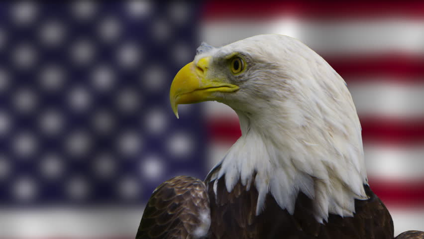 Bald eagle engaging the camera in front of american flag   #21081253