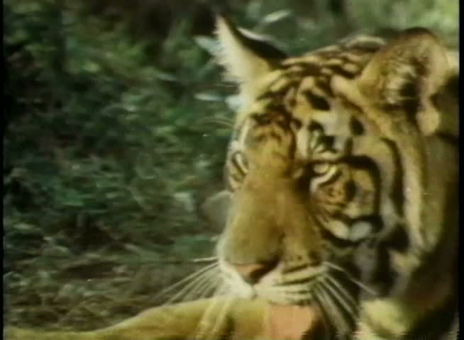Tiger attacking man in forest