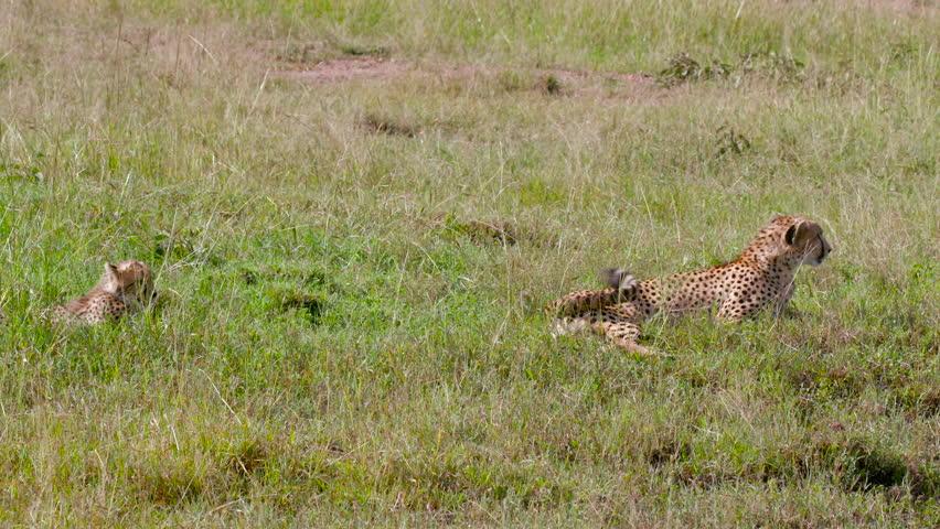 Female Cheetah & Cub Sat In Long Grass; Maasai Mara Kenya Africa #21098983