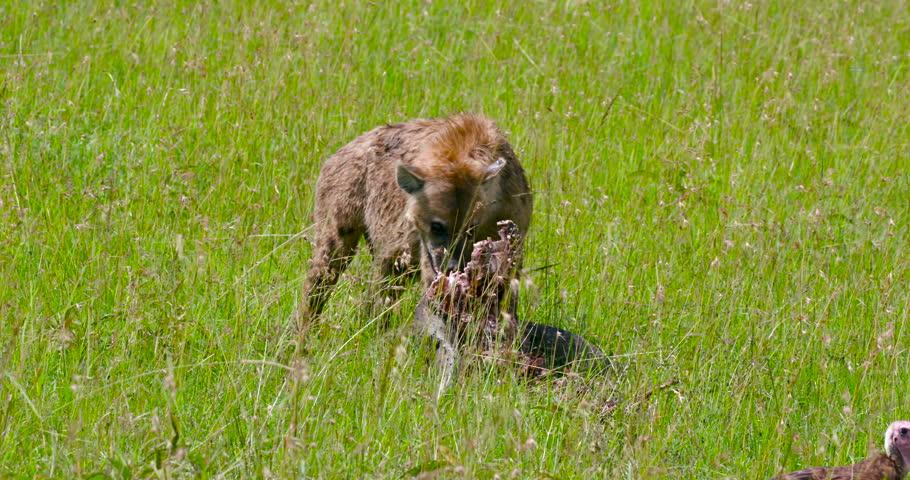 Spotted Hyena Feeding On Bone; Maasai Mara Kenya Africa #21099013