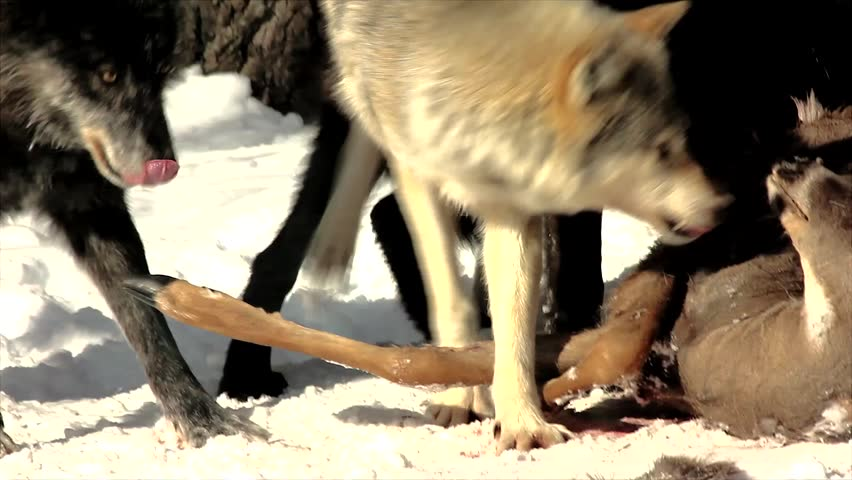 Wild Gray Wolves Feed on a Deer Carcass (this is a wild pack photographed from a blind)