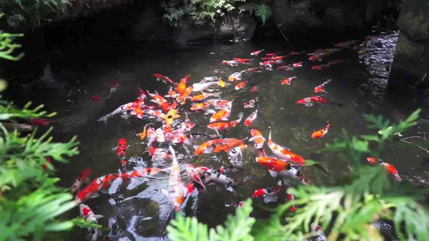 Red flowers at pine tree forest 1080p high definiton for Koi pond music