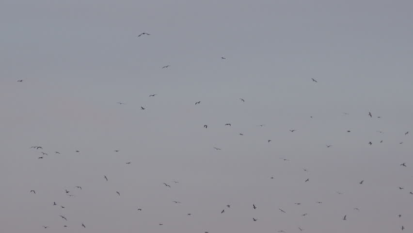 Flock of sea gull birds flying in group over landfill garbage landscape on cloudy autumn day, environment and ecology issue. | Shutterstock HD Video #21248233
