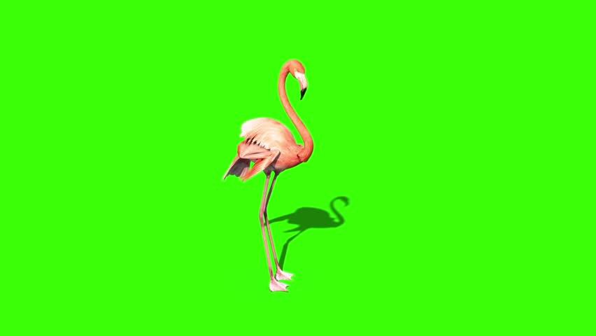Pink Flamingo Rests Green Screen