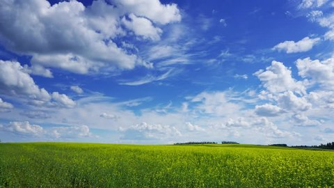 beautiful flowering rapeseed field under blue sky, zoom in timelapse, 4k