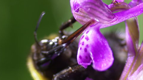 ECU Bee pollinating Early-purple orchid (Orchis mascula) / Wiltshire, England, UK (May, 2012 - Wiltshire, England, UK)