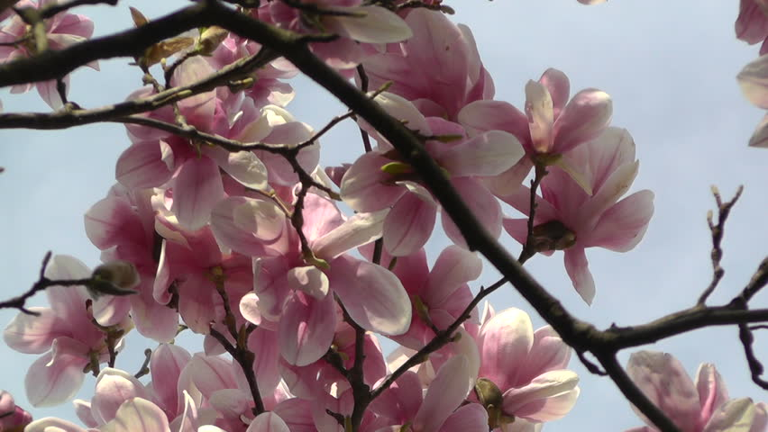 Header of liriodendron