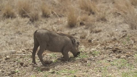 Young warthog on knees eating grass, bigger warthog passes in background, South Africa