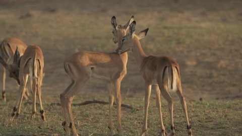 Two impalas cleaning each other in a field with other impalas at sunset, South Africa.