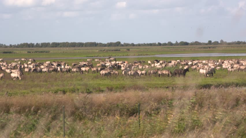 Konik herd, wild horses grazing in nature reserve Oostvaarderplassen, an important European wetland between Lelystad and Almere. OOSTVAARDERSPLASSEN, THE NETHERLANDS - SEPTEMBER 2016