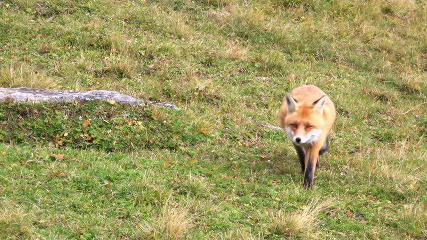 Hunting Fox in the Wilderness. 4K Ultra HD 3840x2160 Video Clip